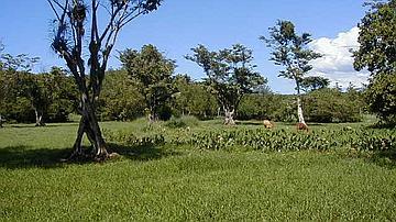 Vestige de Pterocarpus officinalis, en lisière de forêt marécageuse ayant cédé sa place à une prairie humide, où pâturent des bovins.