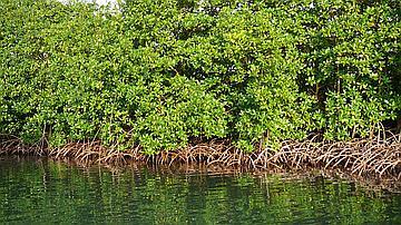 Mangrove bord de mer : ses racines aérifères permettent aux palétuviers d'effectuer à l'air libre des échanges gazeux