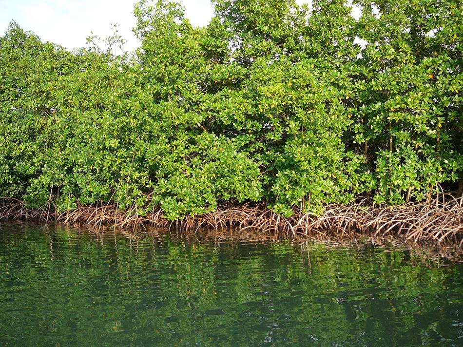 onf la mangrove. Black Bedroom Furniture Sets. Home Design Ideas
