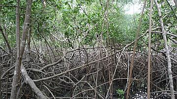 Rideau de palétuviers rouges (Rhizophora mangle) à Petit Bourg, Martinique