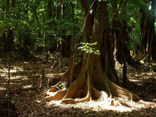 Mangle médaille (Pterocarpus officinalis) dans la forêt marécageuse du Galion (Trinité)