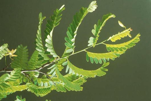 Les jeunes plants des Tamarins de Hauts (ici ses feuilles) doivent être protégées des invasions végétales comme la Vigne marronne