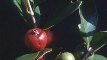 Le goyavier est une peste végétale très présente dans les sous-bois de La Réunion