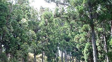 Cryptomérias en forêt du Brûlé (Commune de Saint-Denis)