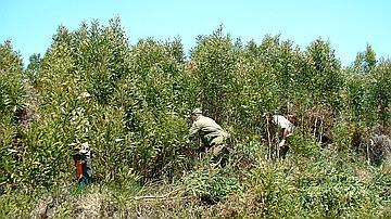Cette équipe d'ouvriers forestiers entretient une régénération de tamarins