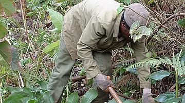 La lutte dite 'mécanique' consiste à l'arrachage manuel de la peste végétale