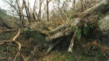 Beaucoup d'arbres ne résistent pas à la force des vents