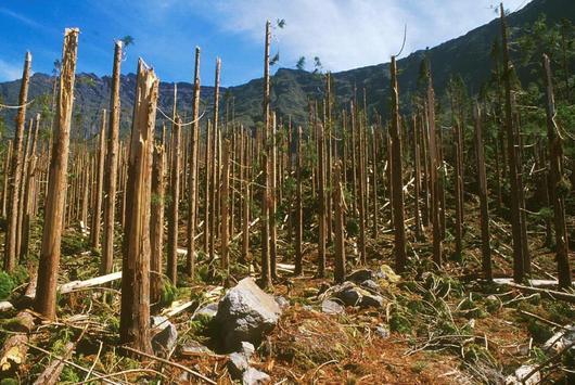 Cette parcelle plantée en cryptomeria n'a pas résisté au passage du cyclone Dina en 2002 (forêt de Bras sec, commune de Cilaos)