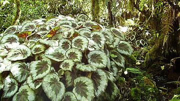 Le Begonia rex, décoratif dans de nombreux jardins, envahit malheureusement les espaces forestiers (ici en forêt de Bébour)