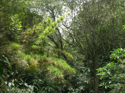 La réserve de Bois de Nèfles, écrin pour le Calumet, espèce endémique