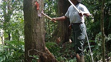 Marquage d'un mahogany en vue de son exploitation