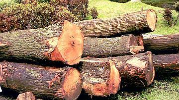 Grumes de mahogany sur parc de scierie