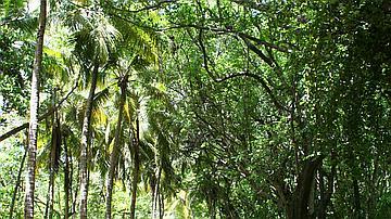 Route d'arrière plage en forêt domaniale littorale (Petite Anse Macabou)
