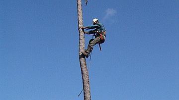 Elagage de cocotiers