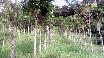 Plantation de Mahoganys en forêt départementale du Châlet