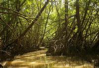 Racines de palétuviers rouges (Mangrove de Fort-de-France)