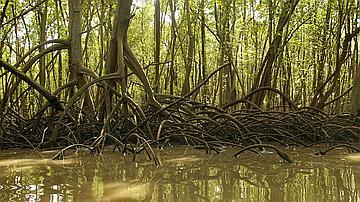Vaste réservoir, la mangrove remplit une fonction de nurserie pour de nombreuses espèces