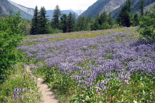 Prairie de chardons bleus en pleine floraison au mois de juillet