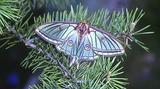 Papillon vitrail ou Isabelle de france Actias isabellae