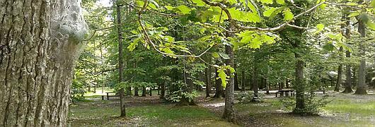 Chenilles processionnaires du chêne