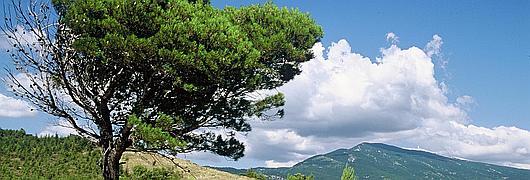 Pin d'Alep avec un port en drapeau dû au vent (Forêt domaniale du Mont Ventoux - 84)
