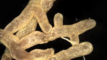 Boletus subtomentosus