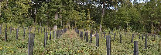 Les plantations de chênes auront lieu en hiver 2018/2019