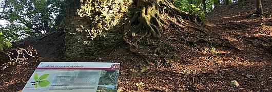 Le hêtre de la Roche-Fouet en forêt de La Londe-Rouvray