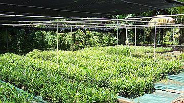 Préparation de plants indigènes à la pépinière de Saint-Philippe