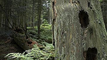 L'état de cet arbre avec ses cavités montre qu'il sert d'habitat à une faune variée