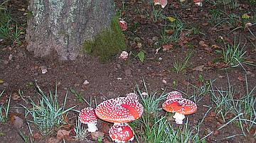 Remarquez la variation de couleurs chez ces Amanites tue-mouches