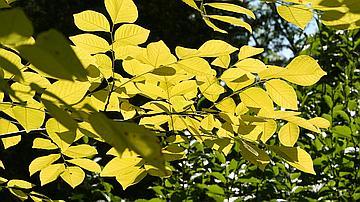 Arboretum des barres, feuilles exotiques en lumière.