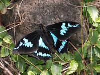 Le papilio phorbanta mâle