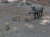 Les sangliers du parc animalier de Roumare