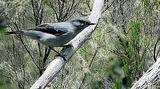 Le tuit-tuit mâle (Coracina newtoni)
