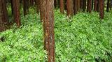 Begonia diadema (Forêt de Cryptomeria de Duvernay)