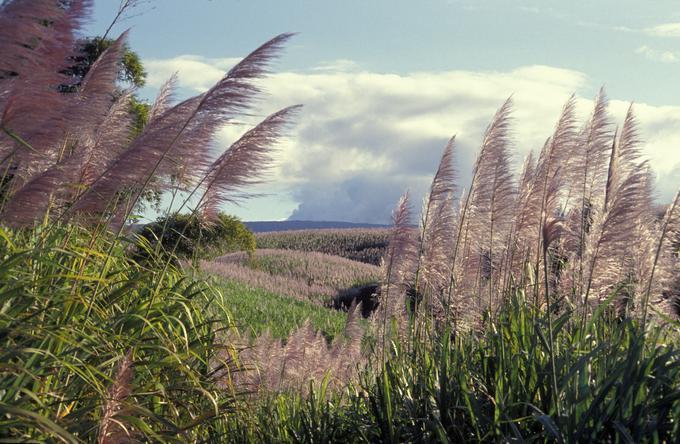 Les fleurs de canne à sucre ondulent au gré des alizés