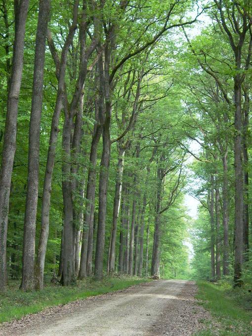 Route forestière bordée d'une majestueuse futaie de chênes sessiles (forêt domaniale de Loches, Indre-et-Loire)