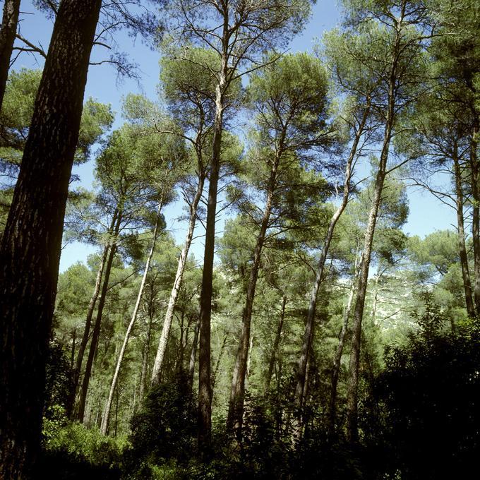 Peuplement classé de pins d'Alep en forêt communale d'Auriol (Bouches-du-Rhône)