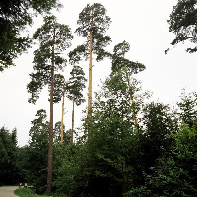 Futaie de pins sylvestres de Wangenbourg (Moselle)