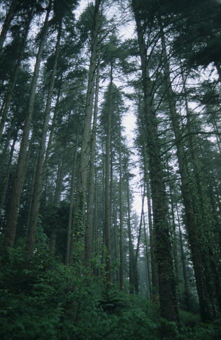 Peuplement de cèdres en forêt domaniale du Rialssesse (Aude)