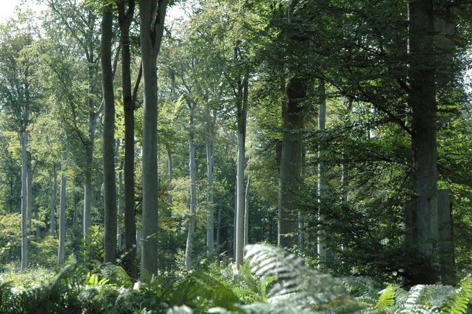 Hêtraie en forêt domaniale de Brotonne (Seine-Maritime)