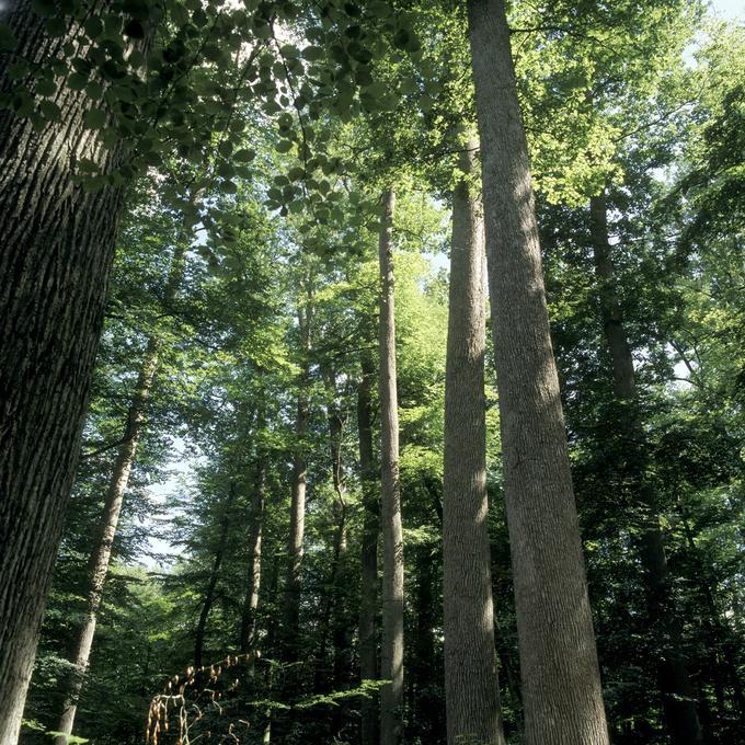 """Réserve biologique dirigée """" Futaie Colbert"""" en forêt domaniale de Tronçais (Allier)"""