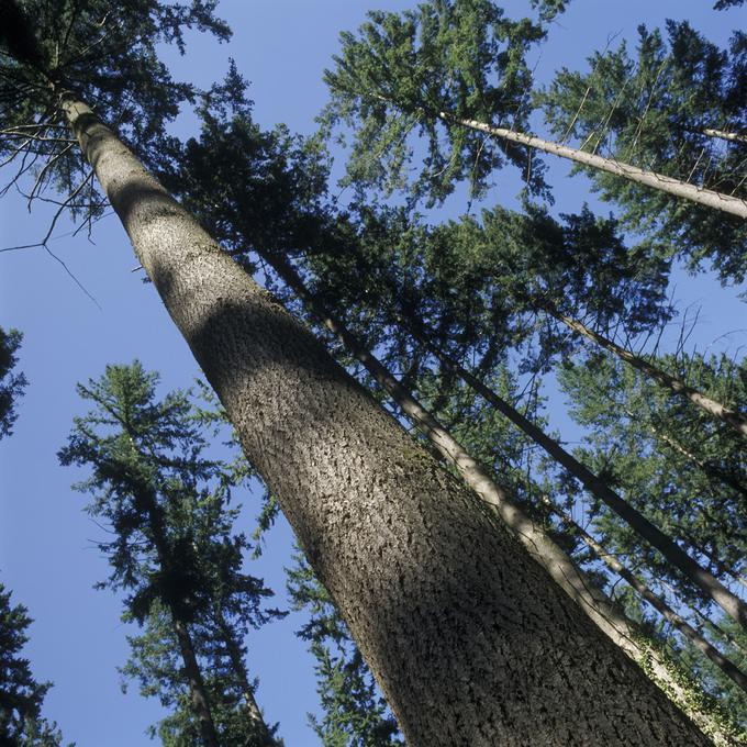 Peuplement remarquable de douglas en forêt domaniale du Somail (Hérault)
