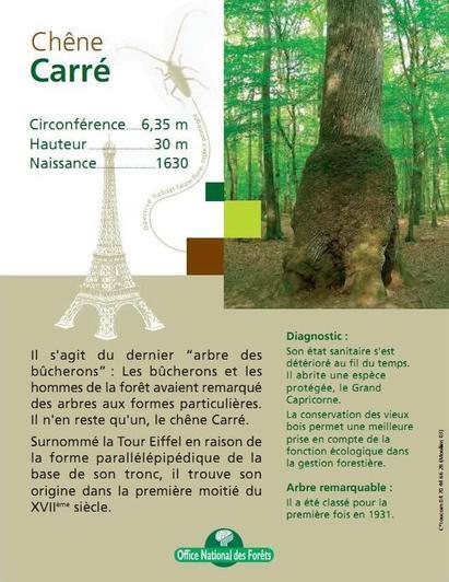 Le chêne Carré
