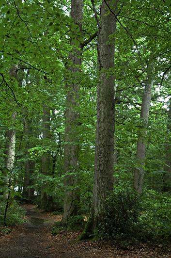 Les chênaies domaniales françaises sont réputées pour la production de bois à merrain qui entrent dans la fabrication des tonneaux