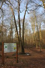 Le chêne Cuve occupe une place de choix parmi les richesses de la forêt domaniale de Brotonne