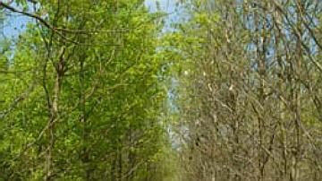 Test de provenance de chêne sessile en forêt domaniale de Sillegny : différence de comportement phénologique entre provenances à droite une tardive Fontainebleau (France) et à gauche une précoce Nagybotany (Hongrie). La phénologie est un caractère clef dans l'adaptation au climat