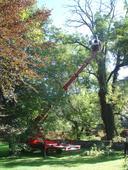 Illustration du frêne qui est de forte taille et partiellement sec