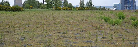 Hydroseeding avec un mélange herbacées-ligneux
